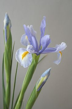 elegant sophisticated and so beautiful iris
