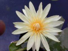 Yellow Supan water lily