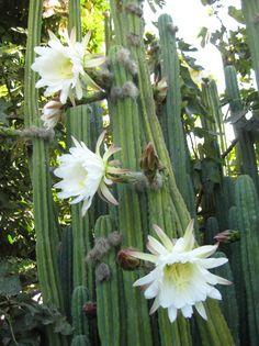 Flower from my San Pedro cactus (trichocereus pachanoi).