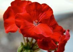 Geranium Essential Oil Benefits For Skin And Hair - Khushi Hamesha Geranium Plant, Geranium Flower, Flower Images, Flower Art, Pot Image, Red Geraniums, Geranium Essential Oil, Rose Leaves, Flower Power