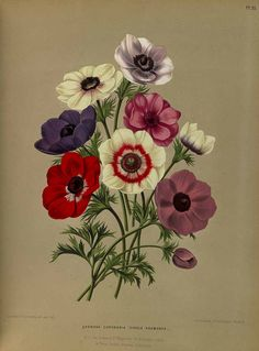 Anemone coronaria L. - Album van Eedan - Haarlem's flora - 1872-1881 - FREE PRINTABLE