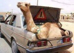 Quick links to share the petition: Stop Camel Wrestling in Punjab province, Pakistan! | Yousign.org