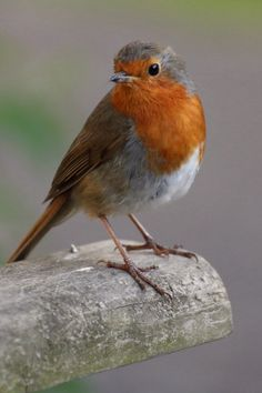 This is a friends photograph - Ian Rossiter. I was captured by this beautiful little fella. Small Birds, Little Birds, Colorful Birds, Pet Birds, Beautiful Photos Of Nature, Beautiful Birds, Animals Beautiful, European Robin, Image Nature