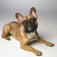 10 Surprising Facts About the French Bulldog