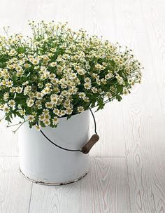"""loving these white daisies...I think they are actually chamomile...especially love them in the white """"painter's bucket"""