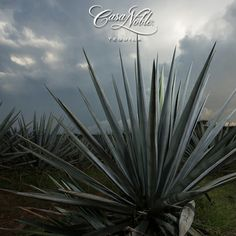 Casa Noble practices a 100% natural cultivation system through out the production. #tequila