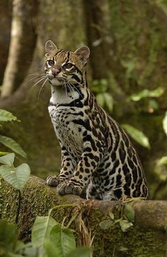 ^Ocelot Leopardus Pardalis Standing / *** Our Beautiful Planet ***