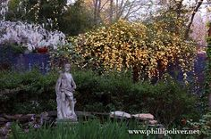 """White Wisteria and """"Lady Banks"""" rose"""