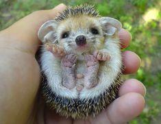 Baby Hedgehog | Bored Panda