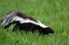 """The skunks do a little """"dance"""" before they spray, so you'll have a bit of warning to get out of danger. If you do get skunked, Animal Planet recommends that you skip the tomato juice bath, which doesn't actually help. Instead, mix up a peroxide bath and lather yourself up with it. """"Mix one quart of 3 percent hydrogen peroxide, one teaspoon mild dishwashing detergent, and 1/4 cup baking soda in a bucket. Lather, rinse, repeat."""""""
