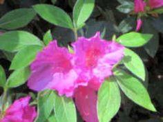 Georgia State Wild Flower - Azalea