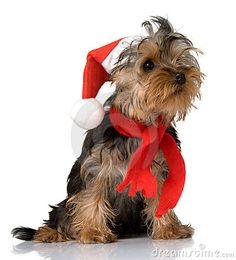 Christmas Yorkie