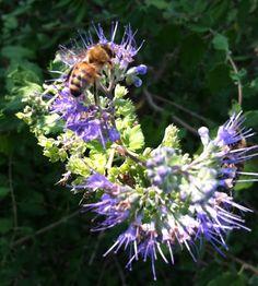 Honeybee on Caryopteris                                     Photo by CS Lent
