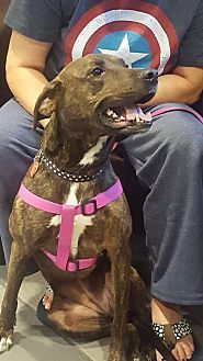 Allentown, PA - Plott Hound/Labrador Retriever Mix. Meet Tori, a dog for adoption. https://www.adoptapet.com/pet/18098799-allentown-pennsylvania-plott-hound-mix