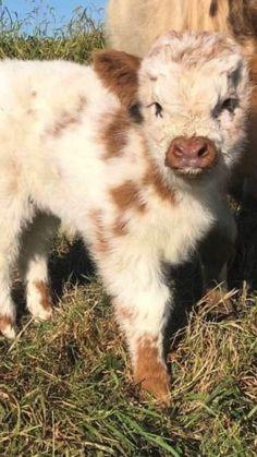 Cute Baby Cow, Baby Animals Super Cute, Cute Wild Animals, Pretty Animals, Cute Cows, Cute Little Animals, Cute Funny Animals, Animals Beautiful, Cute Baby Horses
