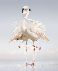 Picturing an Imaginary Animal Kingdom Picture of a constructed image of two flamingos standing next to one another with their necks wrapped around each other Love Birds, Beautiful Birds, Animals Beautiful, Beautiful Images, Flamingo Illustration, Animals And Pets, Cute Animals, Funny Animals, Flamingo Photo