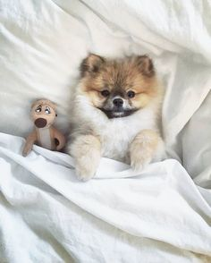 Marvelous Pomeranian Does Your Dog Measure Up and Does It Matter Characteristics. All About Pomeranian Does Your Dog Measure Up and Does It Matter Characteristics. Animals And Pets, Baby Animals, Cute Animals, I Love Dogs, Cute Dogs, Cute Pomeranian, Sweet Dogs, Pomes, Save A Dog