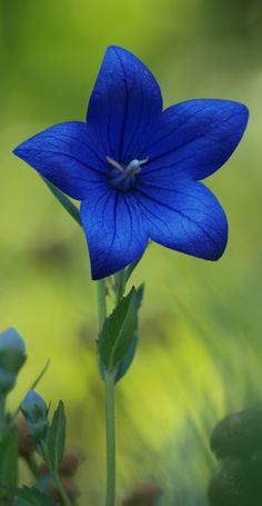 Beautiful blue flower.. Balloon Flower...def Photoshopped tho..I have these all…