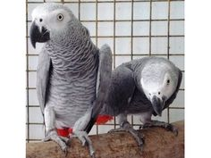 Akc registered male and female African Gray Parrots for sale.