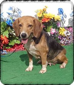 Marietta, GA - Beagle Mix. Meet AILEEN, a dog for adoption. http://www.adoptapet.com/pet/13257522-marietta-georgia-beagle-mix