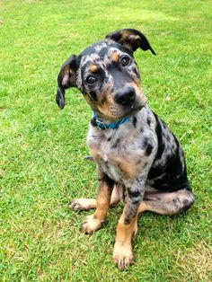 pictures of catahoula leopard dog Mcmillen line   ... the kind of dog they wanted to adopt a catahoula leopard dog but