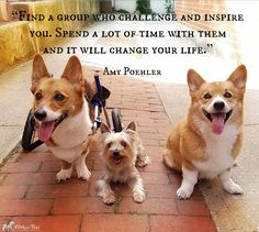 "Inspirational Quote of the Week: ""Find a group (of people) who challenge and inspire you, spend a lot of time with them, and it will change your life."" ~ Amy Poehler Featuring Nabi, Mini, and Cori @coridacorgi"