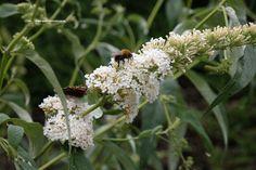 Buddleja = vlinderstruik of herfstsering, bloeit met lange opvallende pluimen waar vlindersoorten op afkomen. Elk voorjaar diep terugsnoeien. In vele kleuren: violet, paars, blauw, rood, roze en WIT. Is een sterkte struik kan zelfs tegen de zeewind.