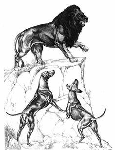 Rhodesian Ridgebacks - The Lion Hunters