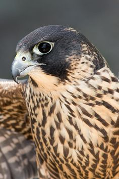 I actually saw a Peregrine Falcon in my neighbor's yard not long ago...took my breath away.