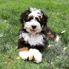 Leroy is a Mini Bernedoodle Puppy from Hackman's Miniature Goldendoodles and… Bernedoodle Puppy, Goldendoodles, Cavapoo, Goldendoodle Breeders, Maltipoo, Bernadoodle, Doodle Dog, Cute Dogs And Puppies, Puppies Tips