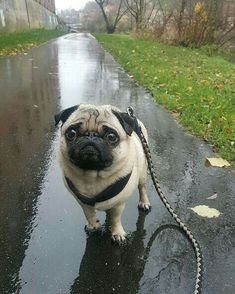 Pug dog walking in the rain Pug Puppies For Sale, Black Pug Puppies, Cute Puppies, Cute Dogs, Terrier Puppies, Bulldog Puppies, Cute Funny Animals, Cute Baby Animals, Staffordshire Terrier