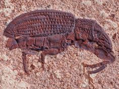 45-million-year-old fossil of a weevil unearthed in Colorado