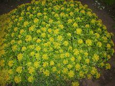 Почвопокровные многолетние растения, цветущие все лето: фото и названия…