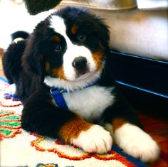 Bernese mountain puppy.. Gonna have me one of these some day!
