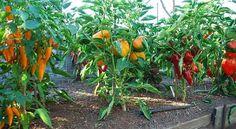 vegetable garden tips (2)_mini