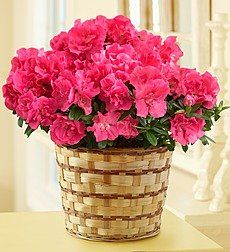 Send her all the comforts of home with our welcoming #azalea #plant. Hand-delivered by our florists, the azalea's blooming beauty warms the heart and mind with stunning, vibrant blossoms. $39.99 #mothersday