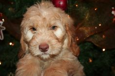 Our new Labradoodle, Apple.