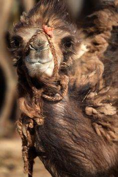 Bactrian Camel blowing in the Gobi Desert, Mongolia :) Mongolia, Wyoming, Bactrian Camel, Camelus, N Animals, All Gods Creatures, Animals Of The World, Zebras, Wildlife Photography