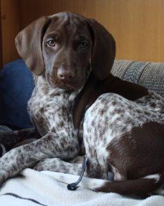 Puppy Sheila German Shorthaired Pointer
