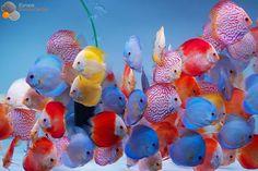Discus Colors ❤️     #discus #diskus #diskusfische #aquarium #symphysodon #tropicalfish #discusfarm #discusfish #fish #discusbreeding #fishfarm #fishtank #fishkeeper #fishkeeping #instafish #fishofinstagram #freshwater #freshwaterfish #ディスカス #アクアリウム #魚 #水槽 #熱帯魚 #fishporn #aquariumsofinstagram #instapet #aquariums #cichlid #diskusfisch #дискусы