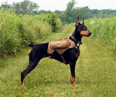 The Doberman Pinscher is among the most popular breed of dogs in the world. Known for its intelligence and loyalty, the Pinscher is both a police- favorite Big Dogs, Cute Dogs, Dogs And Puppies, Warlock Doberman, Beautiful Dogs, Animals Beautiful, Rottweiler, European Doberman, Doberman Pinscher Puppy