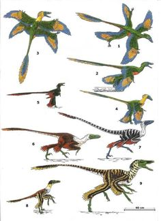 (micro)raptoria 1-2 cryptovolans pauli 3-4 microraptor gui 5 microraptor zhaianus 6 bambiraptor feinbergi 7 graciliraptor lujiatunensis 8 Sinornithosaurus sp. 9 Sinornithosaurus millenii // Cryptovolans, initially described as another four-winged dinosaur, is usually considered to be a synonym of Microraptor.[2]