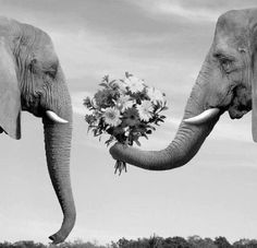 Elephant giving another, flowers. So sweet