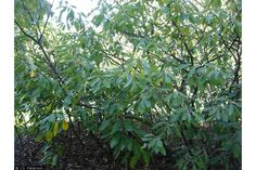 The Leitneriaceae Family currently only contains one single species, the Corkwood Leiterneria floridana. The Corkwood is a very sporad. Deciduous Trees, Trees And Shrubs, Northern Italy, Gulf Of Mexico, Brown And Grey, Pond, Flora, Meet, Garden