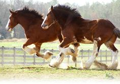 Clydsdales