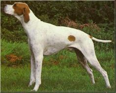 English Pointer.