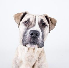 Jamaica - URGENT - Dekalb County Animal Shelter in Decatur, Georgia - ADOPT OR FOSTER - 1 year old Female Am. Staffordshire Mix - Jamaica is ready to join you on any adventure you can imagine. This one year old girl has gorgeous markings and an amazing personality to match. She gets along great with other dogs, knows how to sit, and can't wait to be your right hand lady. Her adoption includes her spay, microchip, vaccinations, and more!