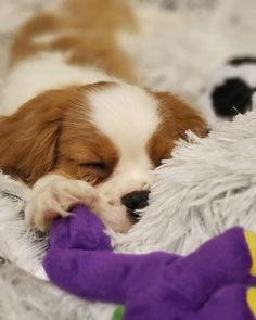 to when I was so tiny! Mom says I grew too fast and needs another puppy to make up for it. Dad says no . Spaniels, Cavalier King Charles, Camilla, Clarity, Projects To Try, Puppies, Kit, Stuff To Buy, Animals