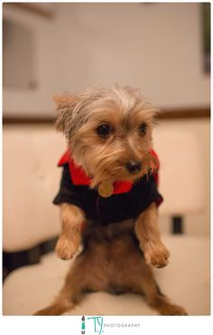 Dog Halloween costumes, yorkshire terrier, yorkie, puppies, dog, dogs in clothes