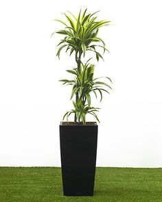 Dracaena 'Lemon and Lime' Bright funky foliage adorns this easy to look after Dragon tree. A bright plant for your office.